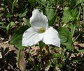 Large-flowered Trillium, Snow Trillium (Trillium grandiflorum) - Flickr - Jay Sturner (1).jpg