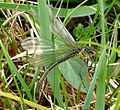 Large Red-eye. Erythromma najas,^ Female. - Flickr - gailhampshire.jpg