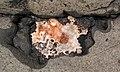 Large quartz-laumontite amygdule in quartz tholeiite basalt lava flow (Two Harbors Basalts, North Shore Volcanic Series, Mesoproterozoic, 1097-1098 Ma; Burlington Bay, Two Harbors, Minnesota, USA) 11.jpg