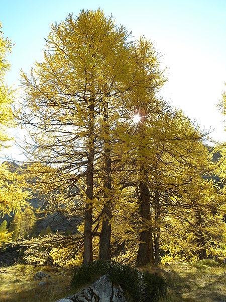 Larix decidua, Parc régional du Queyras, Embrun, Hautes-Alpes, France