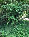 Latua pubiflora Summer foliage.jpg