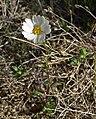 Layia glandulosa 1.jpg