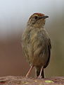 Lazy cisticola, Cisticola aberrans on the Kransberg at Marakele National Park, Limpopo, South Africa (24067972321).jpg