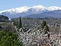 Le Massif du Canigou en blanc manteau d'hiver tandis que le printemps fleurit déjà les cerisiers de Céret.jpg