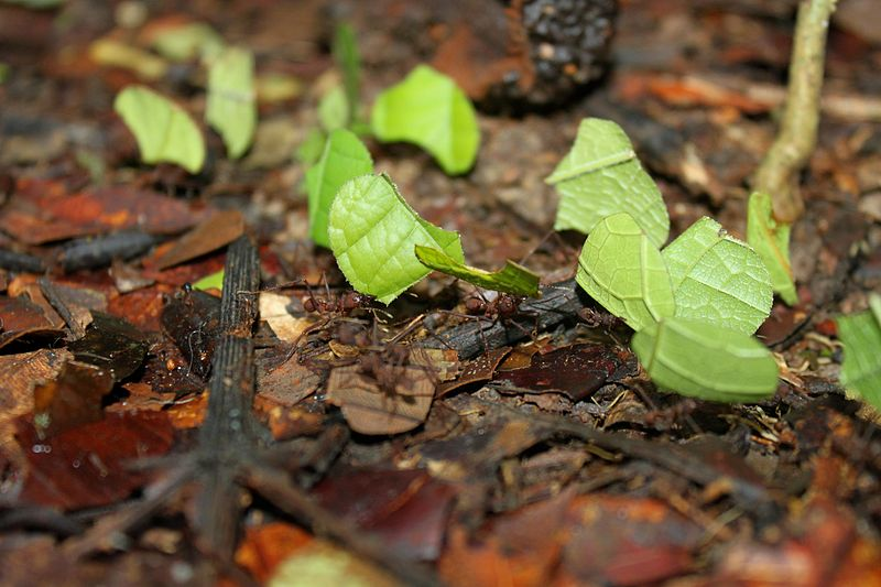 File:Leaf-cutter Ants.jpg