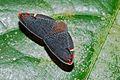 Leafhopper (Ricaniidae) (8090141204).jpg