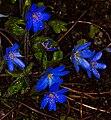 Leberblümchen im Regen 2839.jpg