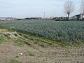 Leek field in Italy 1.jpg