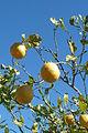 Lemons Fonte Louseiros 16.02.16.16 (24851251620).jpg