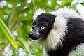Lemur (26773394829).jpg