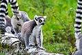 Lemur (36475901134).jpg