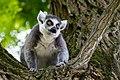 Lemur (36919227122).jpg