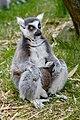Lemur (40596153915).jpg
