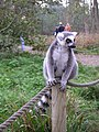 Lemur - panoramio (2).jpg