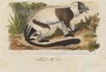Lemur macaco - 1833-1839 - Print - Iconographia Zoologica - Special Collections University of Amsterdam - UBA01 IZ19700011.tif