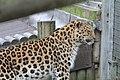 Leopard (5495570336).jpg