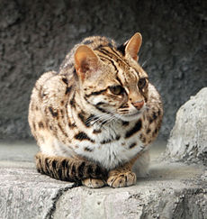 Leopard Cat Tennoji (crop).jpg