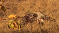 Leopard Kills Warthog in its Burrow Stealth at its Best! HD 1.png
