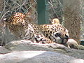 Leopards at Bannerghatta National Park 4-24-2011 1-15-57 PM.JPG