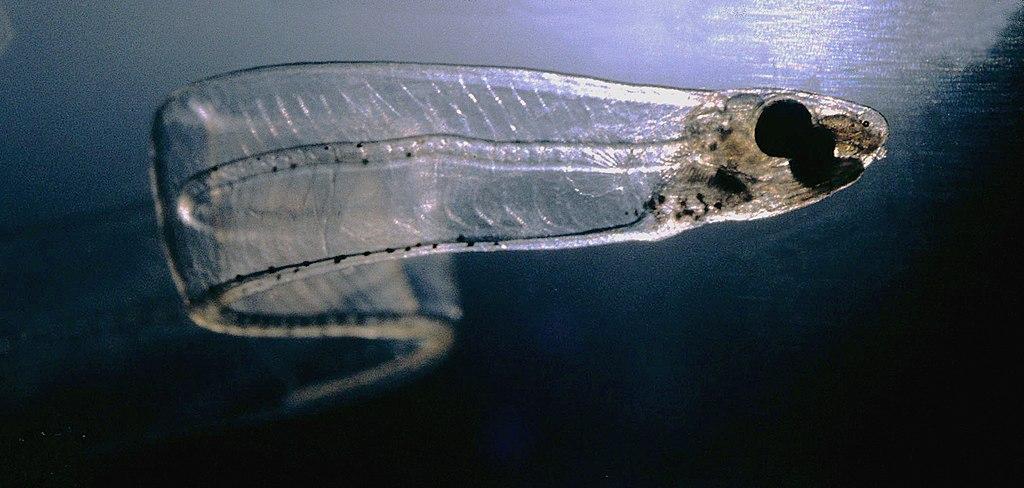 LeptocephalusConger