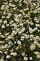 Leucanthemum vulgare 'Filigran' (2003-0388-A).JPG