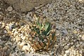 Leuchtenbergia principis 2zz.jpg