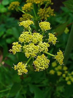 meaning of lovage