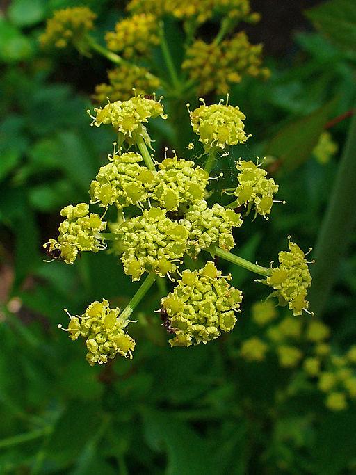 details des fleurs de la ache