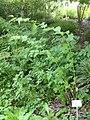 Leycesteria formosa - Botanischer Garten, Frankfurt am Main - DSC03284.JPG