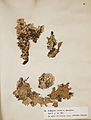 Lichenes Helvetici I II 1842 019.jpg