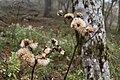 Ligularia dentata 05.jpg
