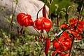Lilium-pumilum-flowers.JPG