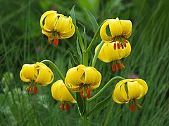 Lilium jankae with seven flowers, Vitosha mountain.jpg