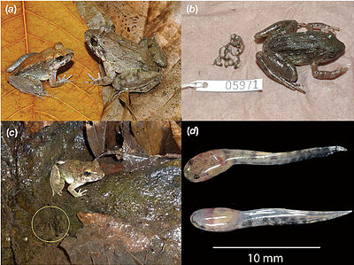 File:Limnonectes larvaepartus - a fanged frog that gives birth to tadpoles.jpg