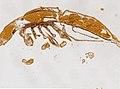 Limulus polyphemus (YPM IZ 098242) 001.jpeg