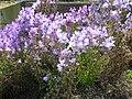 Linaria maroccana cv1.jpg