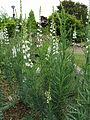 Linaria purpurea 'Alba'3.jpg
