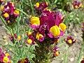 Linaria reticulata (Scrophulariaceae) flower.JPG