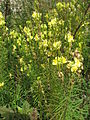 Linaria vulgaris in Tallinn.IMG 7678.jpg