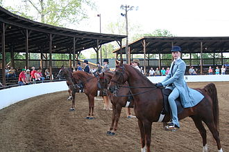 Horse show - A saddle seat class lined up and awaiting awards