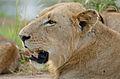 Lion (Panthera leo) young male (17155520748).jpg