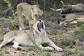 Lion (Panthera leo krugeri) 05.jpg
