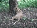 Lion from Bannerghatta National Park 8495.JPG