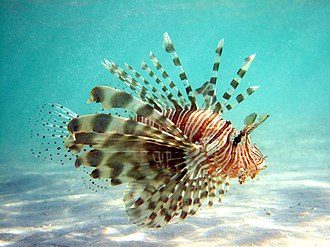 Pterois - Lionfish have 18 venomous spines total: 2 pelvic spines, 3 anal spines, and 13 dorsal spines