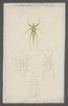 Listroscelis - Print - Iconographia Zoologica - Special Collections University of Amsterdam - UBAINV0274 066 01 0082.tif