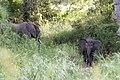 Little Elephant (2393439006).jpg