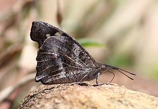 Lobed Beak Butterfly mudpuddling in Chinnar WLS Kerala (1).jpg