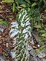 Lobelia nicotianifoliao.jpg