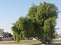 Lonely tree. al khor .qatar - panoramio.jpg