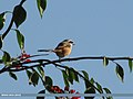 Long-tailed Shrike (Lanius schach) (15702311687).jpg